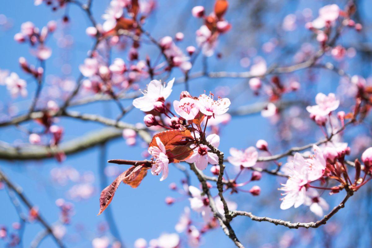 3月3日のひな祭りは桃の節句
